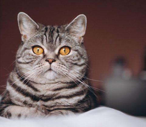 kattegrus